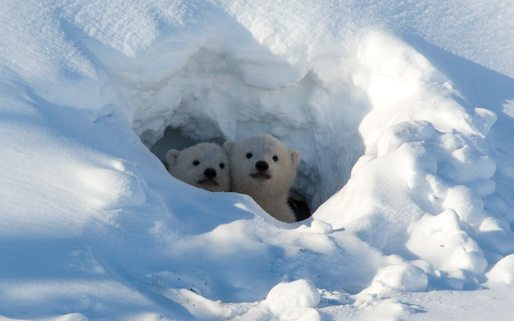 Facts-about-polar-bears-4
